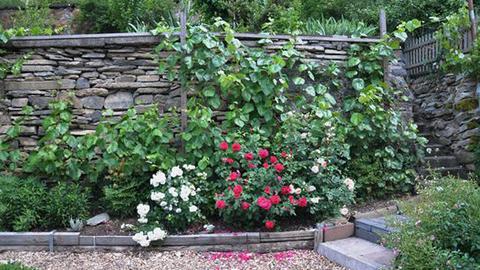 Bangert Terrassengarten, Schiefermauer mit Efeu und Blumen
