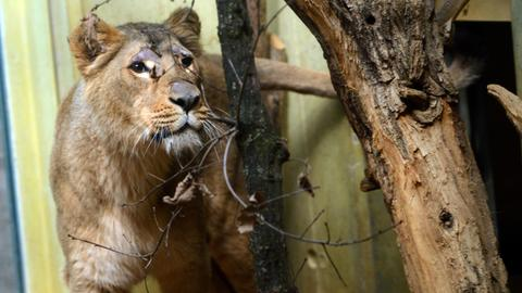 Löwin Zarina im Frankfurter Zoo