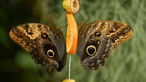 Zwei Bananenfalter sitzen auf einer Orangenscheibe.