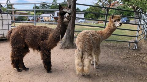Zwei braune Alpakas stehen in ihrem Gehege.