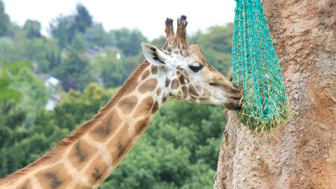 Giraffe isst