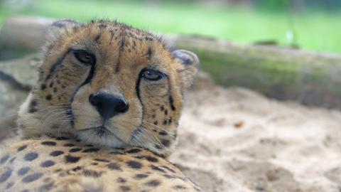 Gepard im Opel-Zoo