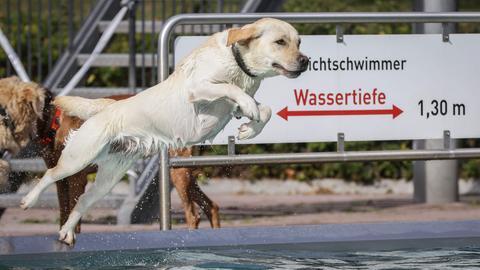 Ein Labrador springt ins Schwimmbecken