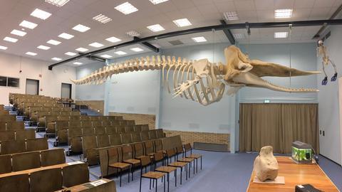 Das Skelett des Pottwals in dem Hörsaal der Gießener Universität