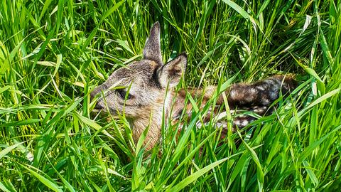 Ein wenige Tage altes Rehkitz liegt im Gras.