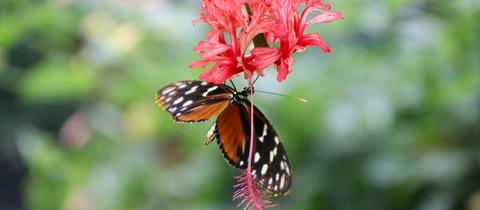 Ein Schmetterling mit weißen Flecken auf den Flügeln sitzt an einer roten Blüte.