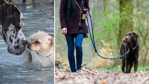 Zwei Hunde im Wasser, ein Labrador an der Leine