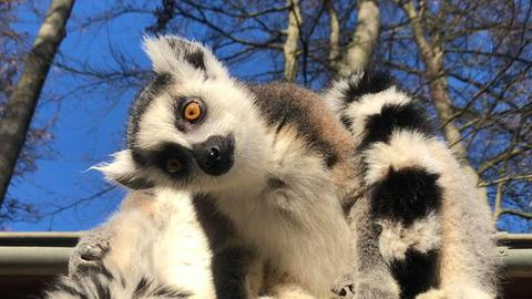 Lemur blickt schrög in die Kamera