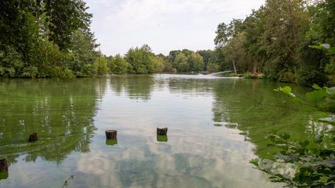 Der Aueweiher in Fulda ist grün gefärbt: Hier blühen Algen