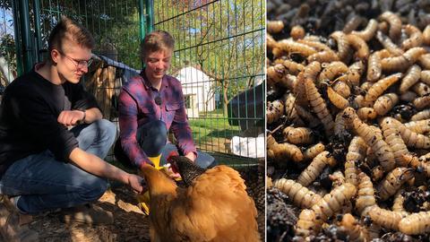 Collage: Zwei Studenten füttern Hühner, Maden in Großaufnahme