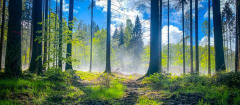 Nach kräftigem Regen kämpft sich die Sonne durch den Wald auf der Hallgarter Zange und lässt eine Pfütze strahlen.