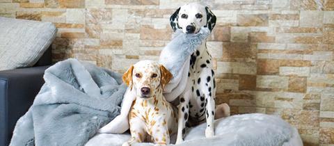 Zwei Dalmatiner posen für ein Foto