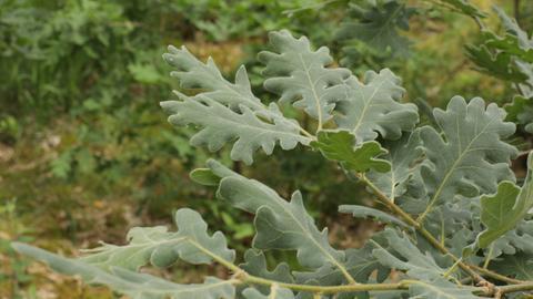 Detailaufnahme Blätter Flaumeiche