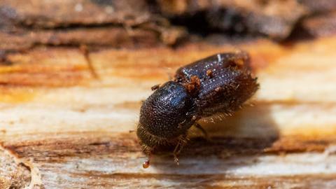 Der schwarze Borkenkäfer sitzt auf einer Baumrinde