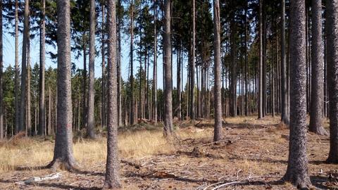 Trockener Waldboden mit Fichtenbestand
