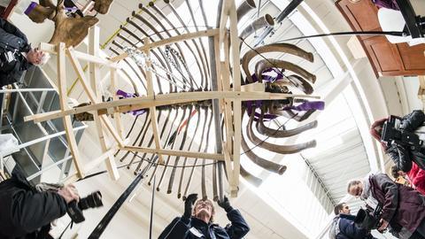 Mastodon-Skelett