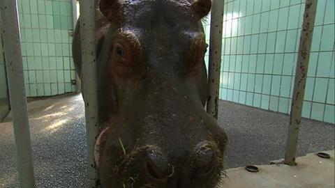 "Nilpferd ""Petra"" im Betongehege im Frankfurter Zoo"