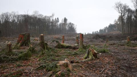 Baumstümpfe stehen nach dem Ende der Rodungen auf der A49-Trasse in der Schneise im Dannenröder Forst in Mittelhessen.