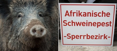 """Wildschwein/Schild mit der Aufschrift """"Afrikanische Schweinepest - Sperrbezirk"""""""