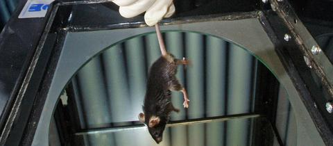 Labormaus wird für Tierversuch vorbereitet.