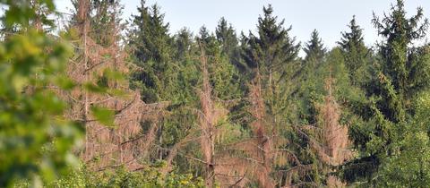 Tote Bäume in einem Wald in Sachsen im August 2019