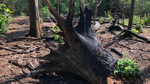 Wurzel eines verbrannten Baums im Frankfurter Stadtwald
