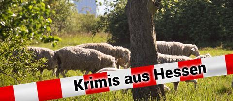 Schafe auf Weide mit Grafik