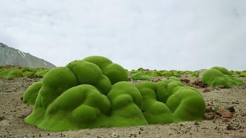 Foto einer Llareta-Pflanze: ein grünes, schwammiges Gewächs in der Ausstellung.