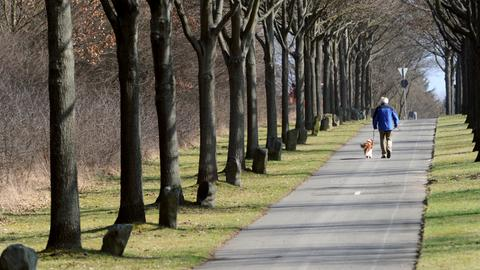 Allee mit Beuys-Eichen in Kassel
