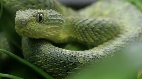 Afrikanische Buschotter - eine grüne Giftschlange
