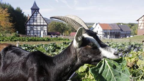 Ziege auf einem Feld im Hessenpark