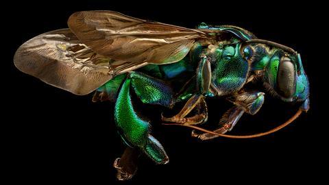 Seitenansicht einer Biene in Großaufnahme