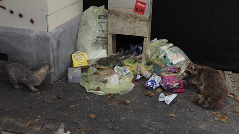 Katze und Waschbär im Schutz der Dunkelheit an Müllsäcken in der Stadt