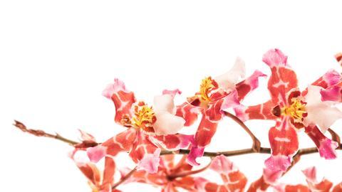 Orchideen-Ausstellung im Museum Wiesbaden: Blüten eines Burrageara-Hybrids