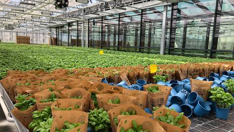 Basilikumfarm - sehr viele Töpfe mit Basilikum im Glashaus