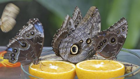 Blaue Morphofalter und ein Bananenfalter sitzen auf ihrem Futter.