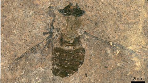 Fossile Fliege Hirmoneura Messelense aus der Messelgrube. Sie lebte vor rund 47 Millionen Jahren und wurde in der Grube Messel als bislang unbekannte Fliegenart entdeckt.