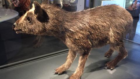 Lebendmodell eines Urpferds aus der Grube Messel mit Reh- und Damwildhaaren