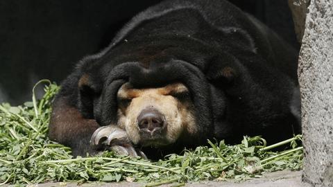 Malaienbär im Frankfurter Zoo