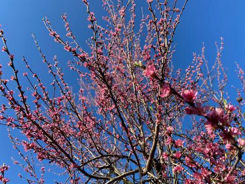 Der Pfirsichbaum trägt rosa Blüten.