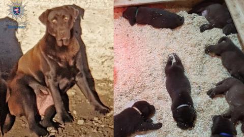 Labradorhündin und ihre Welpen