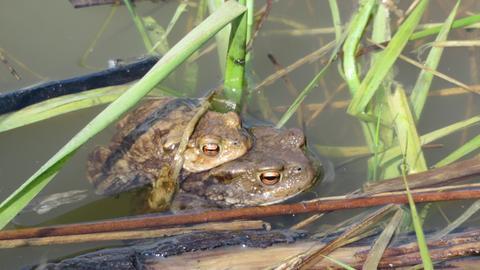 Zwei Erdkröten schwimmen auf einem Teich.