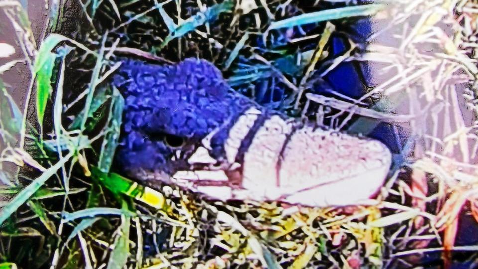Dieses Krokodil macht die Wetterau unsicher.