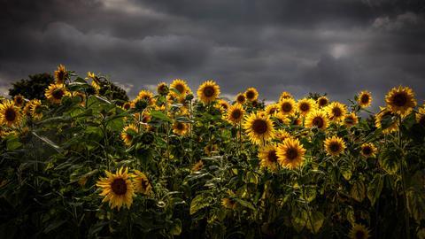 Momentaufnahme Sonnenblumen