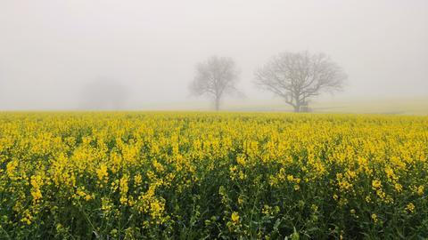 Nebel über einer Blumenwiese.
