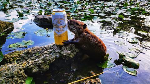 Durstige Bieberratte in Wetzlar