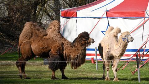 Kamele vor dem Zelt von Zirkus Busch