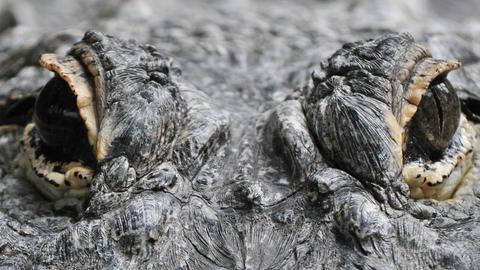Alligatoren im Krokodilzoo Friedberg (Archiv)