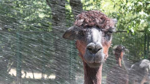 Alpaka im Frankfurter Zoo bekommt Wasserdusche
