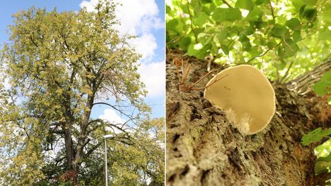 Lindenbaum, Pilz an der Rinde